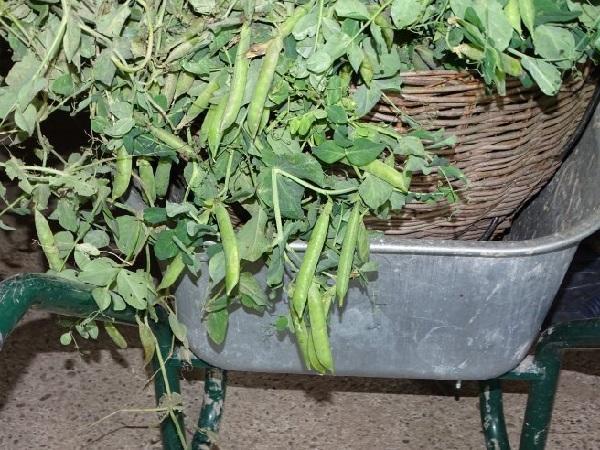Зеленый горошек консервированный в домашних условиях